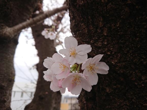 3/21,22 東京の桜2020Vol.1_b0042308_15050127.jpg