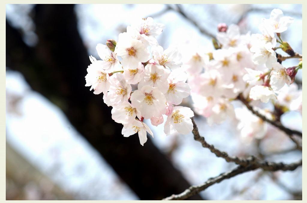 桜のつぶやき (本日2度目の投稿)_d0147812_16295501.jpg