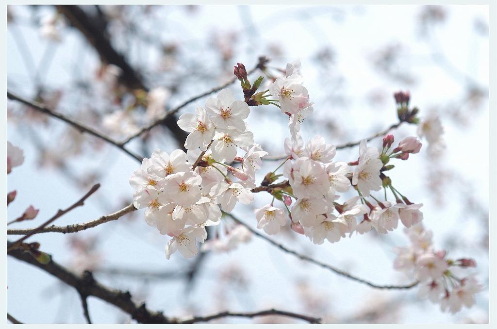 桜のつぶやき (本日2度目の投稿)_d0147812_16303942.jpg