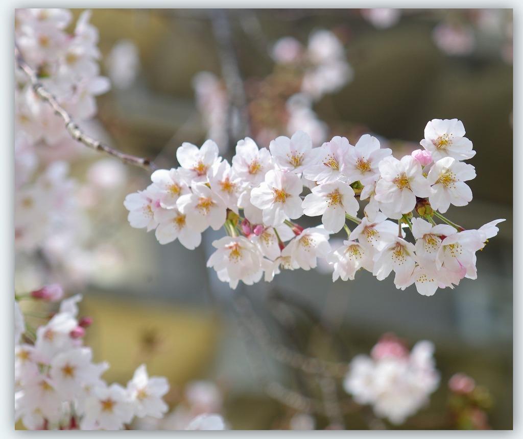 桜のつぶやき (本日2度目の投稿)_d0147812_16314582.jpg