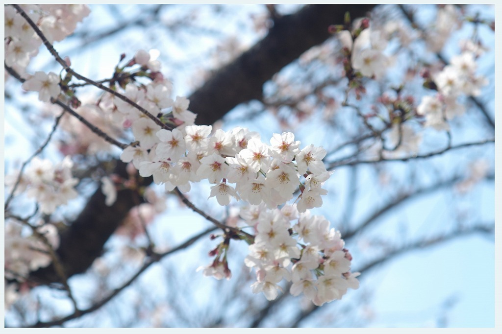 桜のつぶやき (本日2度目の投稿)_d0147812_16324471.jpg