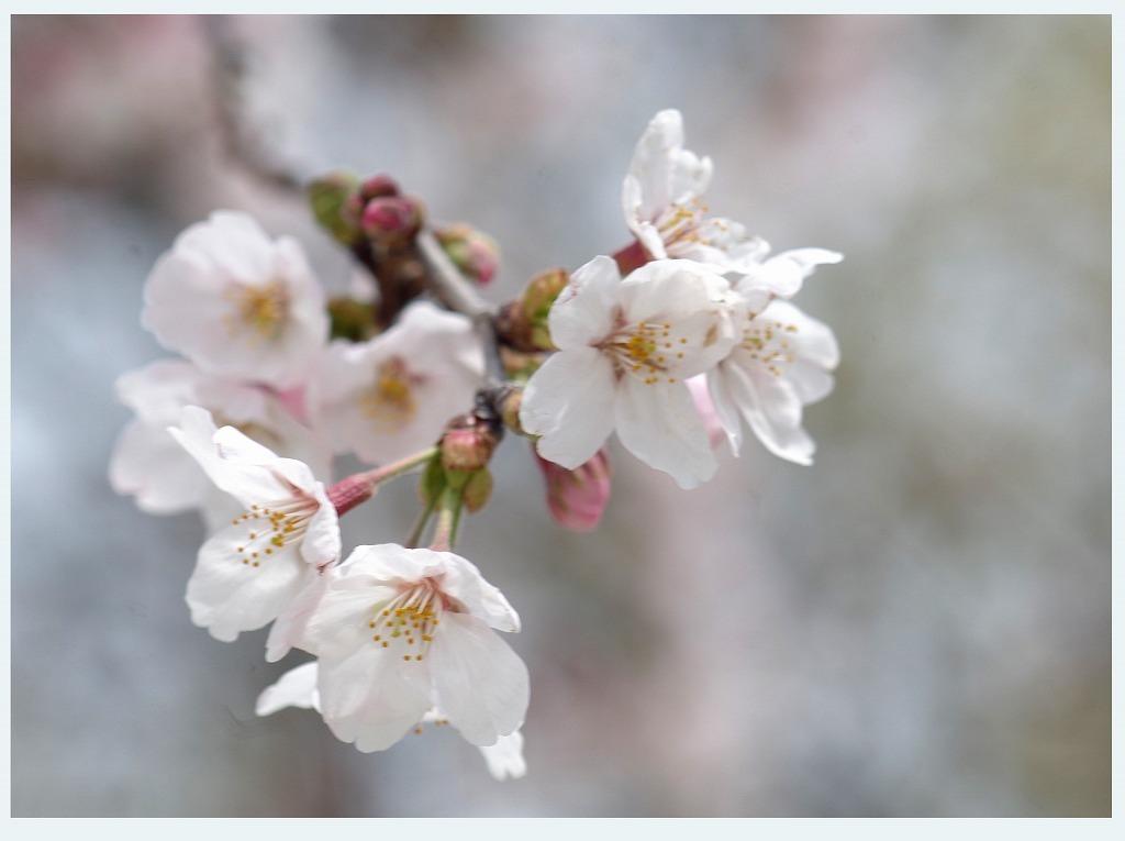 桜のつぶやき (本日2度目の投稿)_d0147812_16334469.jpg
