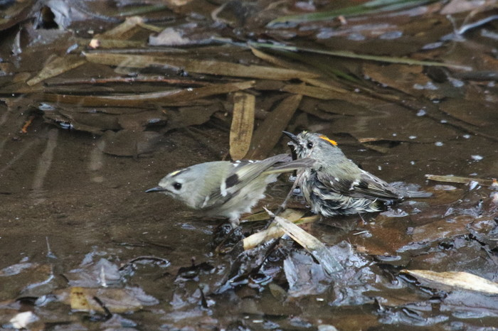 MFでキクイタダキの水浴びを  その1の続き_f0239515_19212910.jpg
