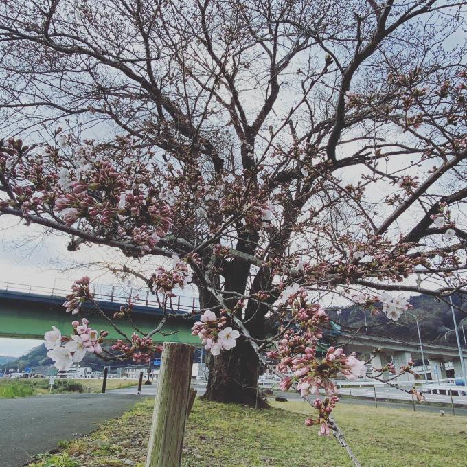 桜🌸_d0155416_09311869.jpeg