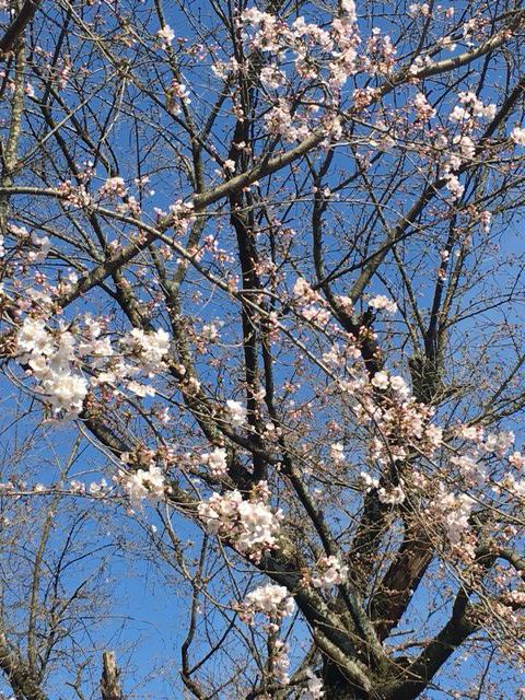 """モッコウバラ状況と花岡山の桜状況とトルチェパンと確定申告ほぼ終わりとレオさん近況としおり星人ぬいぐるみ展""""黒いの""""のお知らせと明日もおやすみ_a0387218_22365227.jpg"""
