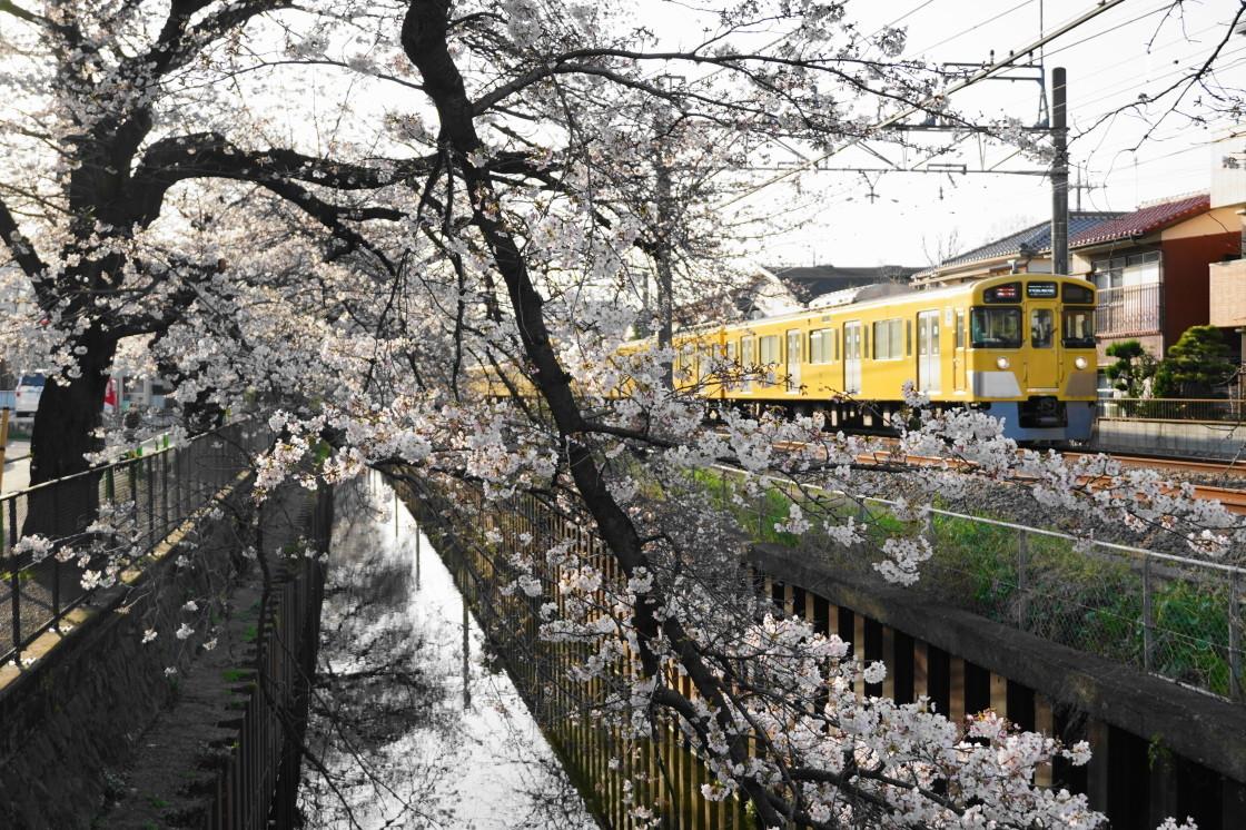 西武新宿線武蔵関駅の桜_a0385725_22071852.jpg