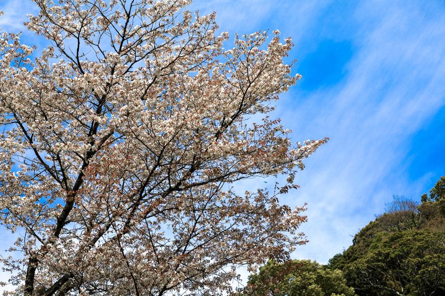 林叟院の山桜_d0377637_15325936.jpg