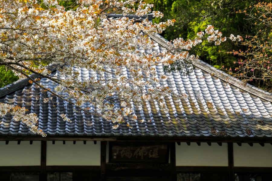 林叟院の山桜_d0377637_18401828.jpg