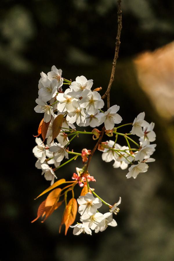 林叟院の山桜_d0377637_18402030.jpg