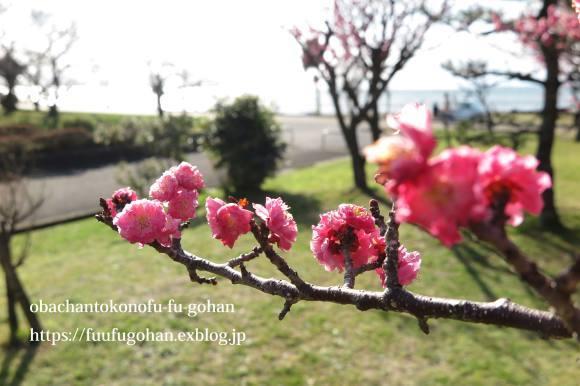 梅の花が、満開です(^_^)v&お花見に、持って行きたいお弁当&休日ののんびりブランチは、冷たいお蕎麦_c0326245_12055359.jpg