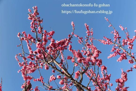 梅の花が、満開です(^_^)v&お花見に、持って行きたいお弁当&休日ののんびりブランチは、冷たいお蕎麦_c0326245_12060304.jpg