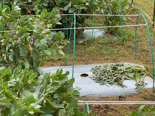 連日の強風で蚕豆の株千切れ倒れています これで5株  じゃが芋の畝マルチも剥がされました_c0222448_14345614.jpg