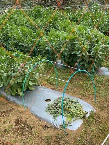 連日の強風で蚕豆の株千切れ倒れています これで5株  じゃが芋の畝マルチも剥がされました_c0222448_14350738.jpg