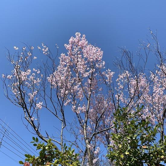一番早く咲く 桜_c0327752_16171632.jpg