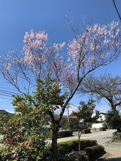 一番早く咲く 桜_c0327752_16183115.jpg