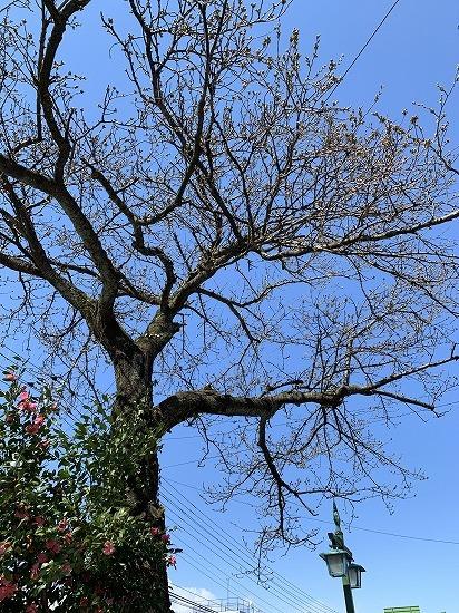 一番早く咲く 桜_c0327752_16191875.jpg
