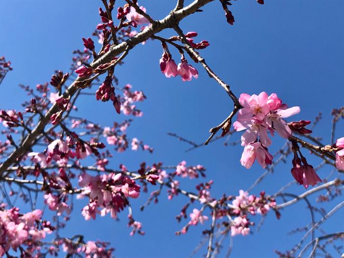 桜が咲いてきた_e0053660_10195235.jpg