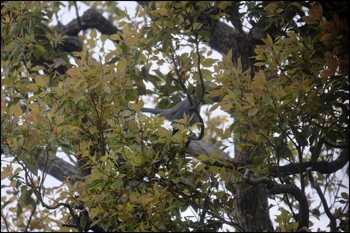 借景の三本の大きな木の間はオナガの遊び場になっているようです_a0031363_19050626.jpg