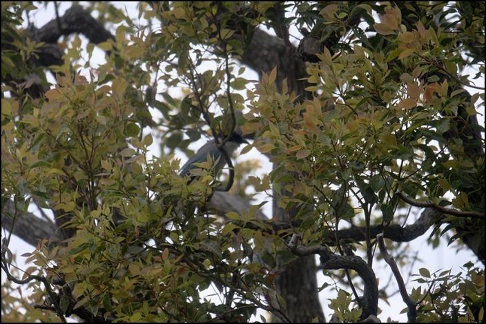 借景の三本の大きな木の間はオナガの遊び場になっているようです_a0031363_19051461.jpg