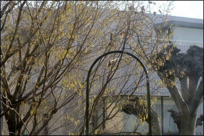 借景の三本の大きな木の間はオナガの遊び場になっているようです_a0031363_19052966.jpg
