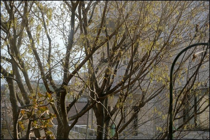 借景の三本の大きな木の間はオナガの遊び場になっているようです_a0031363_19053388.jpg