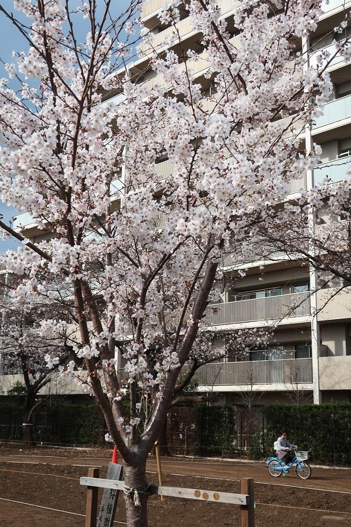 桜の花見は出来ないけれど_a0107574_16430742.jpg