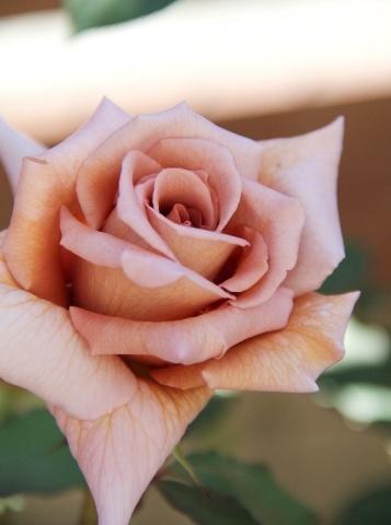 ◆ティラミスが咲きました!_e0154682_23023016.jpg