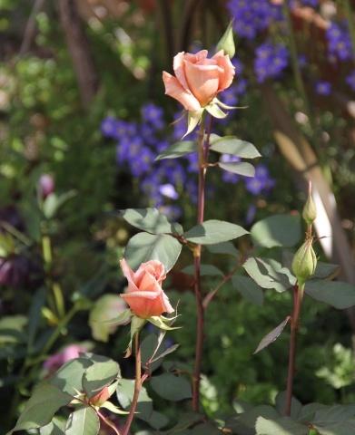 ◆ティラミスが咲きました!_e0154682_23031858.jpg