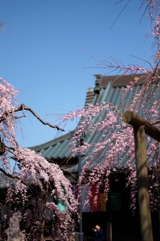 水戸市六地蔵寺の枝垂れ桜 2020・03・20~21_e0143883_05062148.jpg