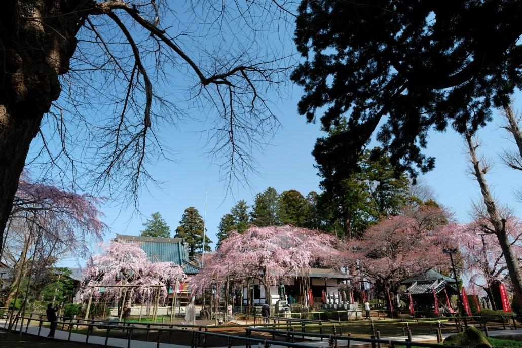 水戸市六地蔵寺の枝垂れ桜 2020・03・20~21_e0143883_05090991.jpg