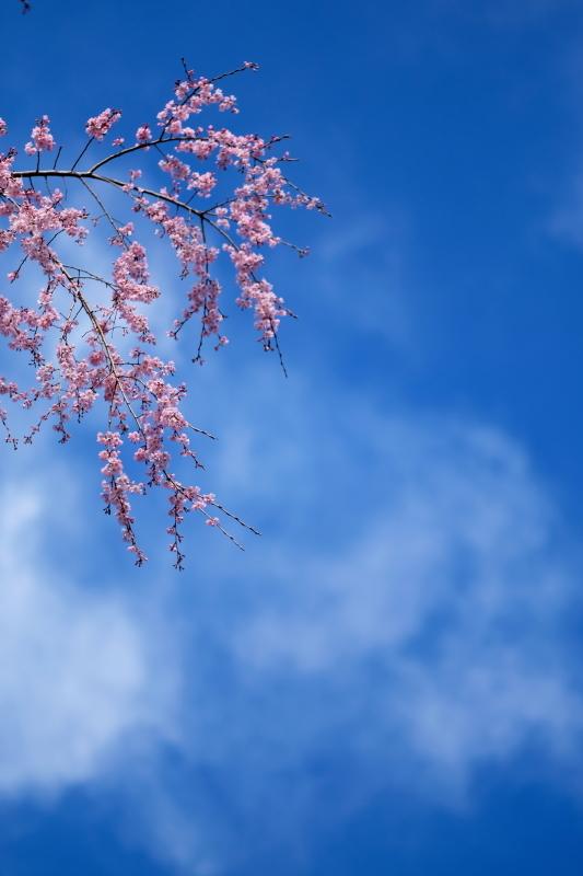水戸市六地蔵寺の枝垂れ桜 2020・03・20~21_e0143883_05194151.jpg