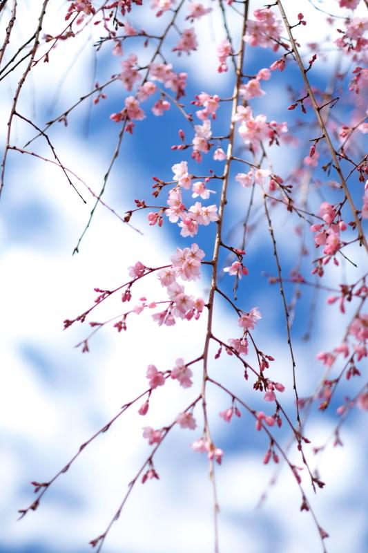 水戸市六地蔵寺の枝垂れ桜 2020・03・20~21_e0143883_05201319.jpg