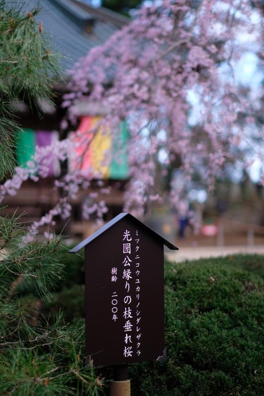水戸市六地蔵寺の枝垂れ桜 2020・03・20~21_e0143883_05211223.jpg