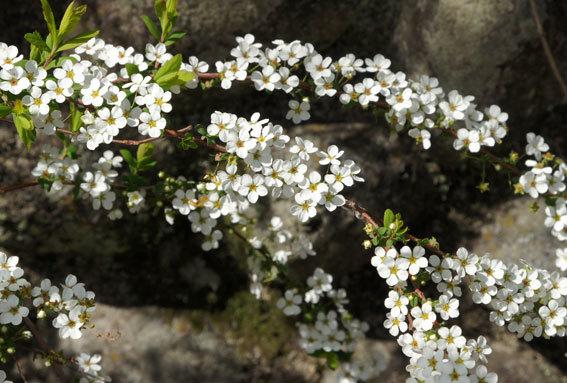雪のなかった榊原にユキヤナギが満開_b0145296_22095590.jpg
