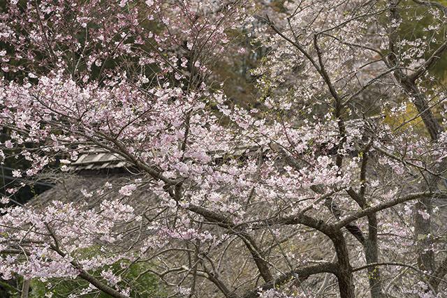 藁ぶき屋根としだれ桜_b0145398_21492496.jpg