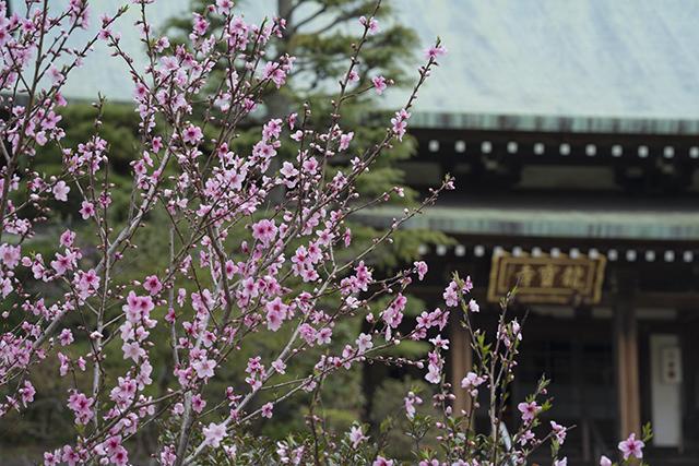 藁ぶき屋根としだれ桜_b0145398_21495315.jpg