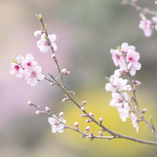 藁ぶき屋根としだれ桜_b0145398_21503354.jpg