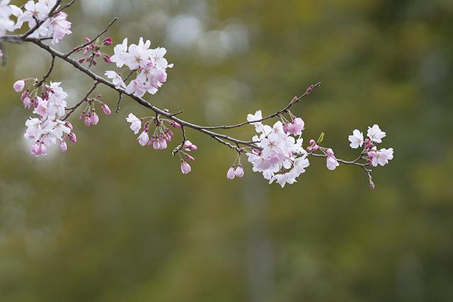 藁ぶき屋根としだれ桜_b0145398_21512084.jpg