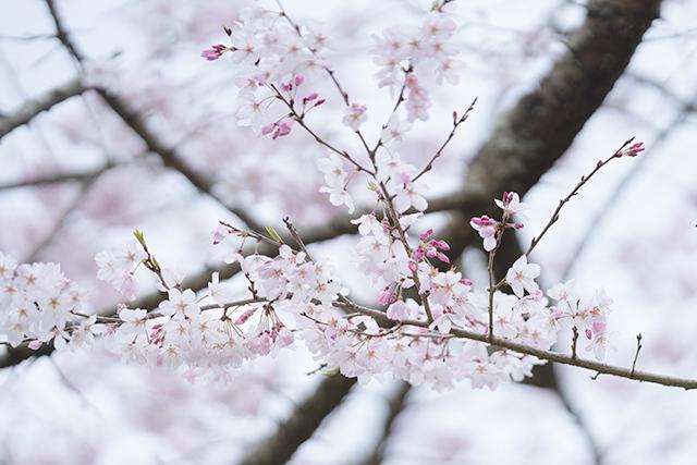 藁ぶき屋根としだれ桜_b0145398_21514577.jpg