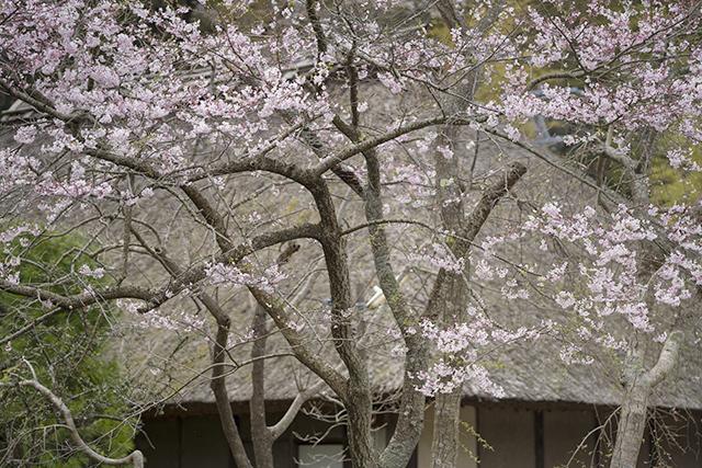 藁ぶき屋根としだれ桜_b0145398_21524249.jpg