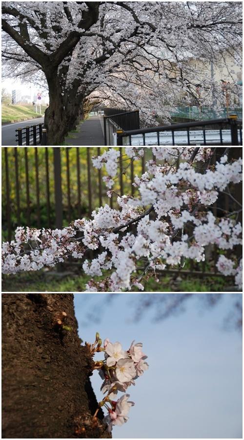 お不動さんの桜・庭の花・蘭_c0051105_14205648.jpg