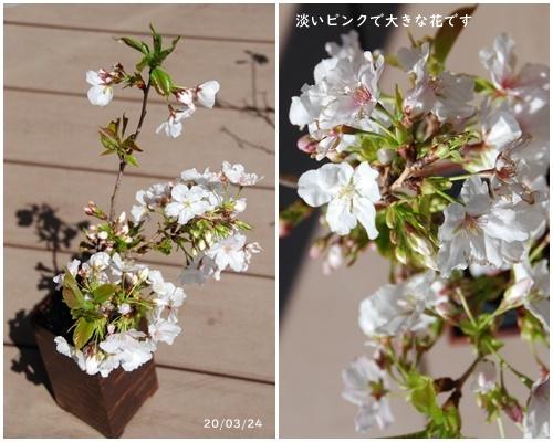 お不動さんの桜・庭の花・蘭_c0051105_14554099.jpg