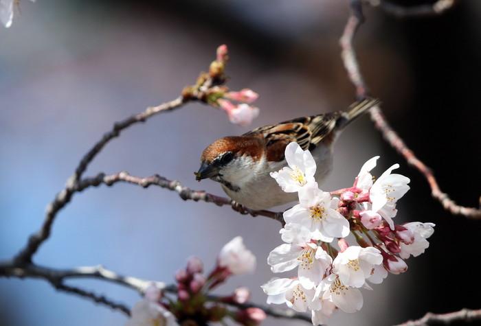 桜が咲いた‼ ニュウナイスズメが入る_f0239515_171456.jpg
