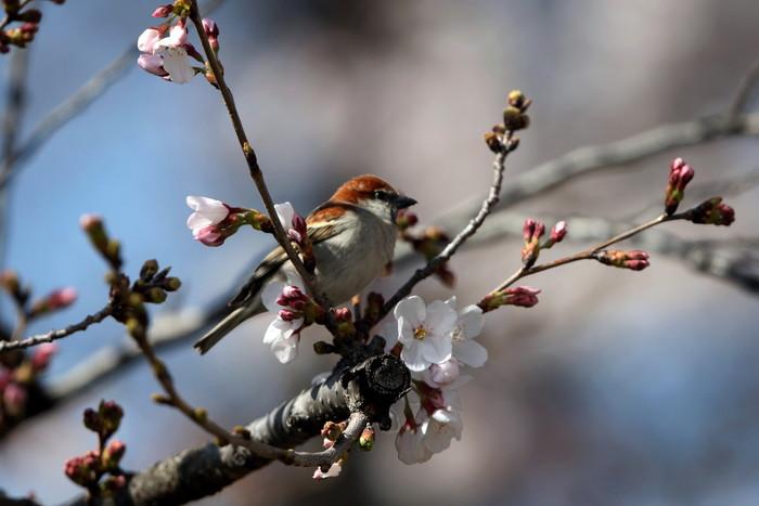 桜が咲いた‼ ニュウナイスズメが入る_f0239515_172113.jpg