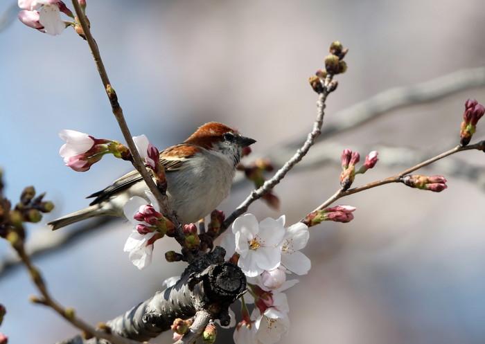 桜が咲いた‼ ニュウナイスズメが入る_f0239515_1722623.jpg