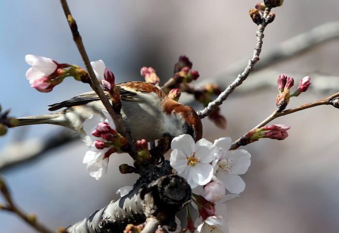 桜が咲いた‼ ニュウナイスズメが入る_f0239515_1724940.jpg