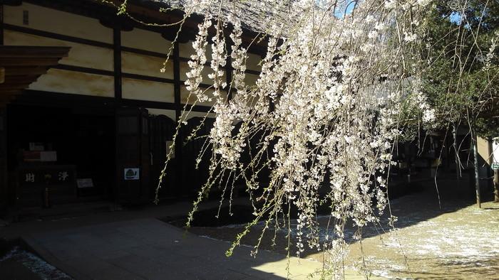 桜が咲いた‼ ニュウナイスズメが入る_f0239515_17275421.jpg