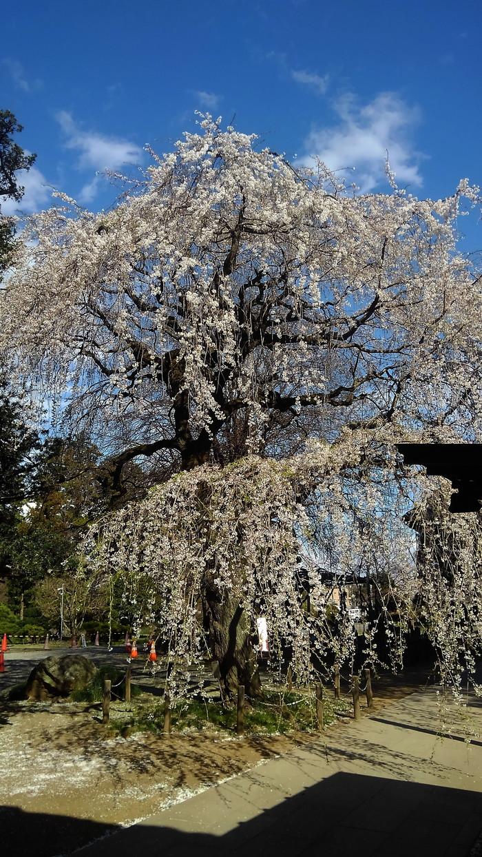 桜が咲いた‼ ニュウナイスズメが入る_f0239515_17283411.jpg