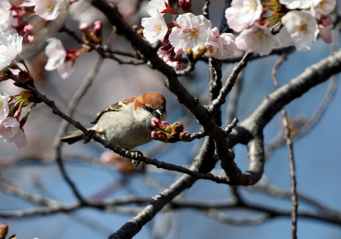 桜が咲いた‼ ニュウナイスズメが入る_f0239515_1731710.jpg