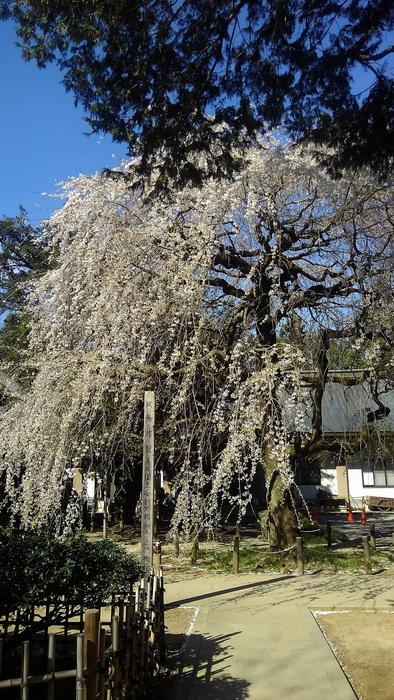 桜が咲いた‼ ニュウナイスズメが入る_f0239515_17362260.jpg